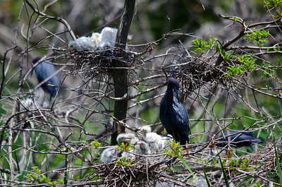 Little Blue Heron with her babies!