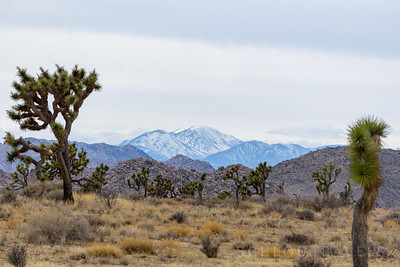 Joshua Tree | Joshua Tree National Park, California