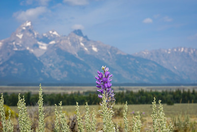 Lavender | Grand Tetons, Wyoming