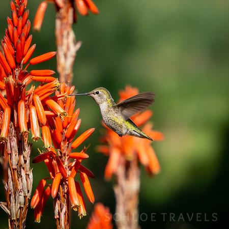 Hummingbird | San Luis Obispo, California