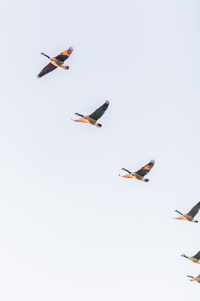 Geese Flying | Warrenton, Virginia