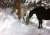 Boys 0108 -- Even the boys' feeding area has to get cleared...and there are TWO of them!  Note Xino adding a mouthful of snow to his mouthful of hay.  He likes snow better than dunking in water!