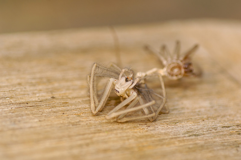 Molting spider