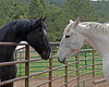 Comet & Shadow 0901 -- May 3,2014   Tracey brought over her half Iberian mare and she and Comet and Xino had fun interacting over the corral panels!