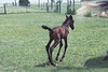 Spunky Boy (now Xino Boy) at three days old with dam Alegria flying by!  Photo by Pam/Bruce Menke