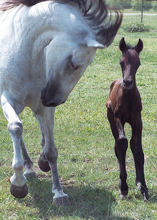Spunky Boy (now Xino Boy) at three days old with dam Alegria.  Lusitano.  Photo by Pam/Bruce Menke