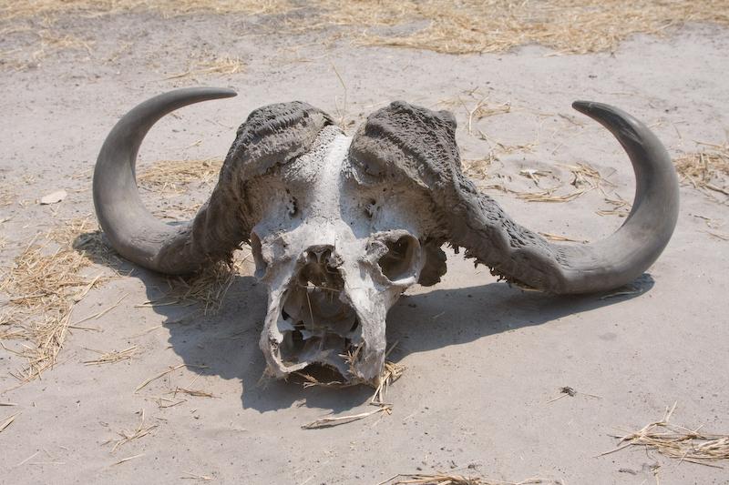 Cape Buffalo skull