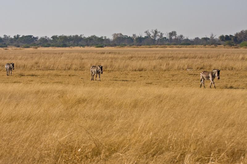 Zebras walk in single file as defensive tactic