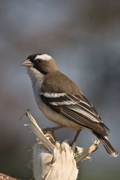 Female White-Browed Sparrow-Weaver