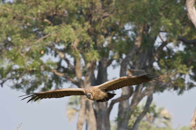 The Vultures come from miles around when there is a kill