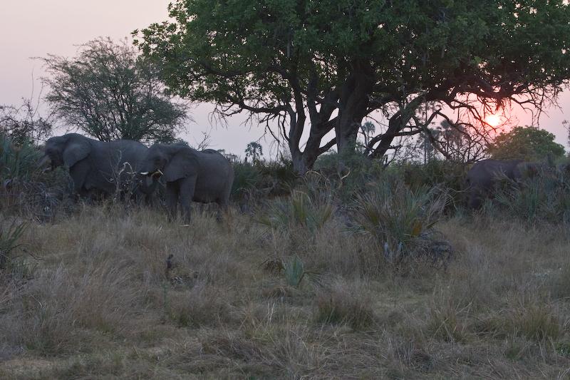 Elephants grazing at sunset