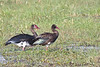 Adult & immature Spur-Wing Geese.