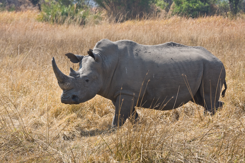 Rare White Rhinoceroses.   1 of 7 re-introduced into Botswana.  We had a presentation of the Rhino project the night before & were told the nearest rhino was at least 20 miles away.  Much to our surprise this one showed up the next morning.