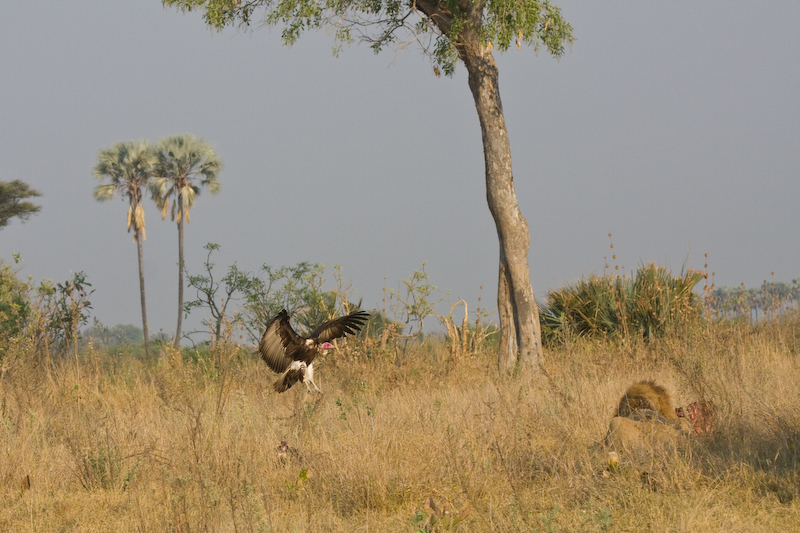 Vulture trying to steal from the kill.   The lion just had to eye the vulture to defend his kill.