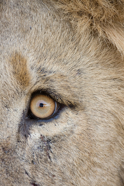 Lion eye.   This guy was so close you could smell his terrible breath