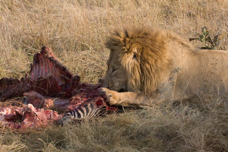 Male lion at Zebra kill