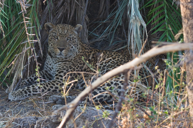 The elusive male leopard.  This male is very shy & has seldom been photographed.