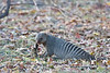 Banded Mongoose with kill