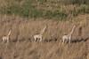 Giraffes walking in single file