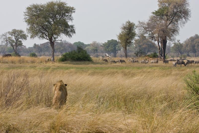 Lion stalking his prey
