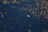 White Egret flying over marsh