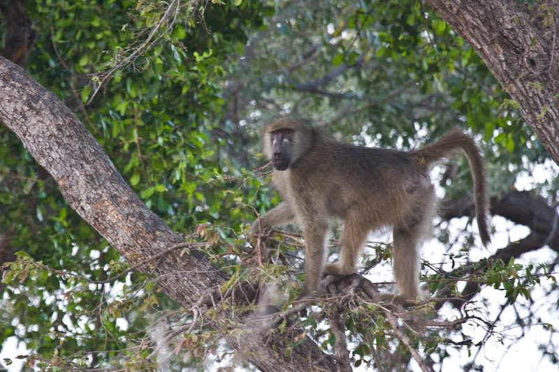 Baboon on the lookout