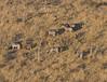 Zebra herd form helicopter