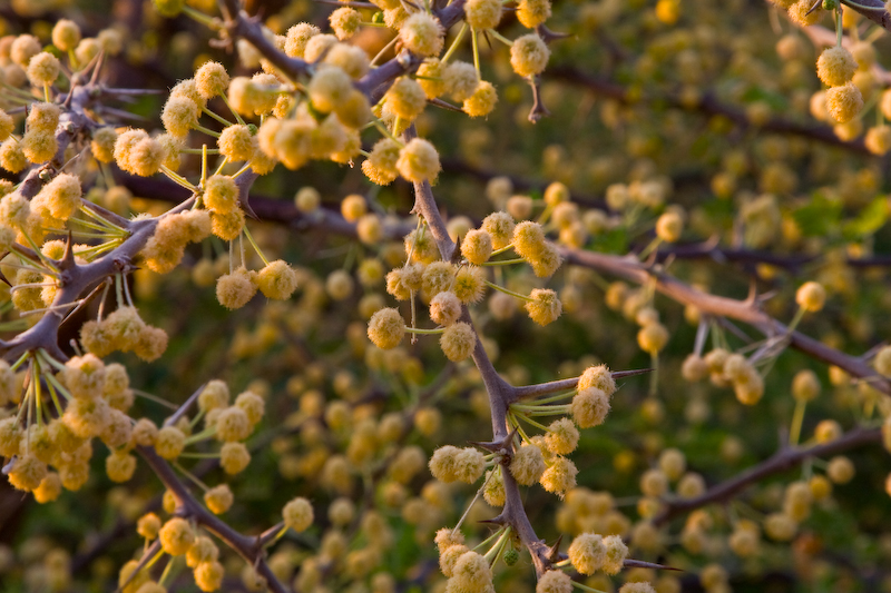 Buds in thorn bushes