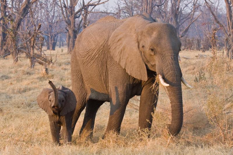 Baby Elephant raises the alarm