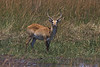 Male Red Lechwe