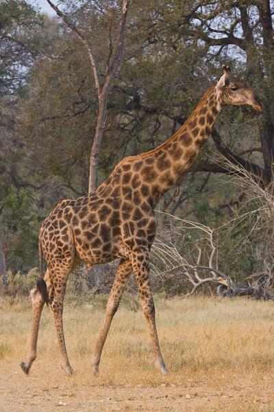 Giraffes tend to get darker with age.