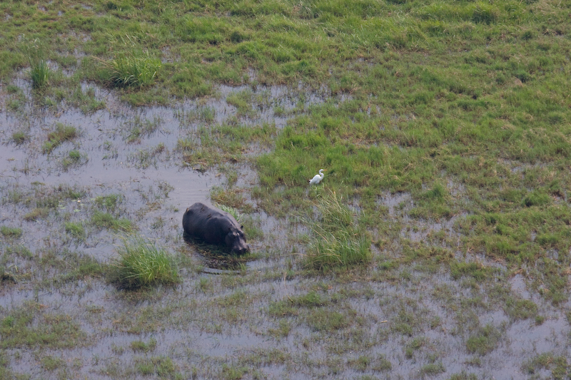 Hippo from helicopter