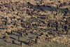 Cape Buffalo herd from helicopter