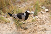 Blacksmith's Lapwing with egg