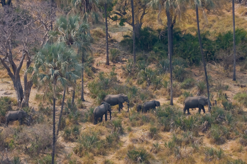 Elephant herd from helicopter