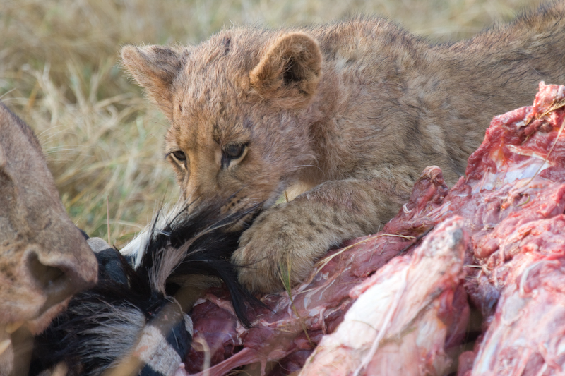 Lion cub eating some nice tasty Zebra meat