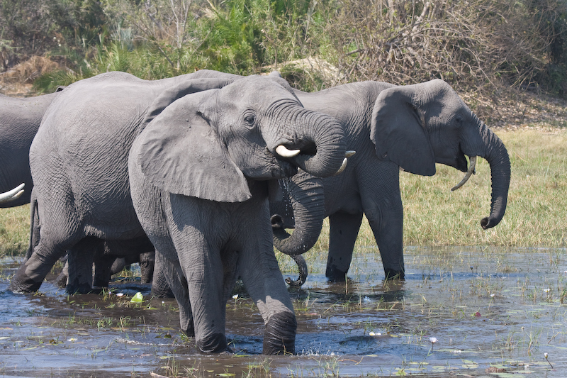 Elephants drinking at Mombo lunch