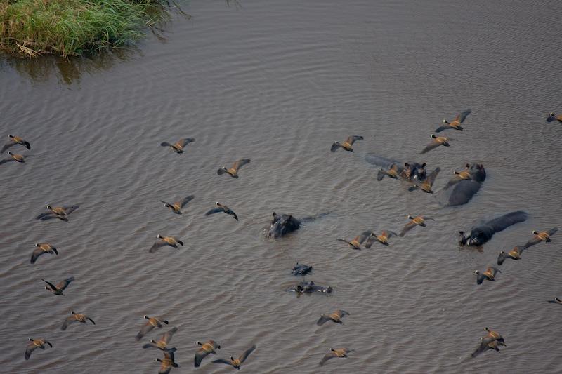 Hippos & Birds