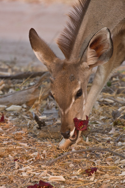 Impala munching on flowers from a Sausage Tree.