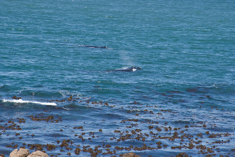 We were very excited to see our first whales.   Viewed from the road at Simon's Town.