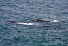 Southern Right Whales.  Two adults & one calf