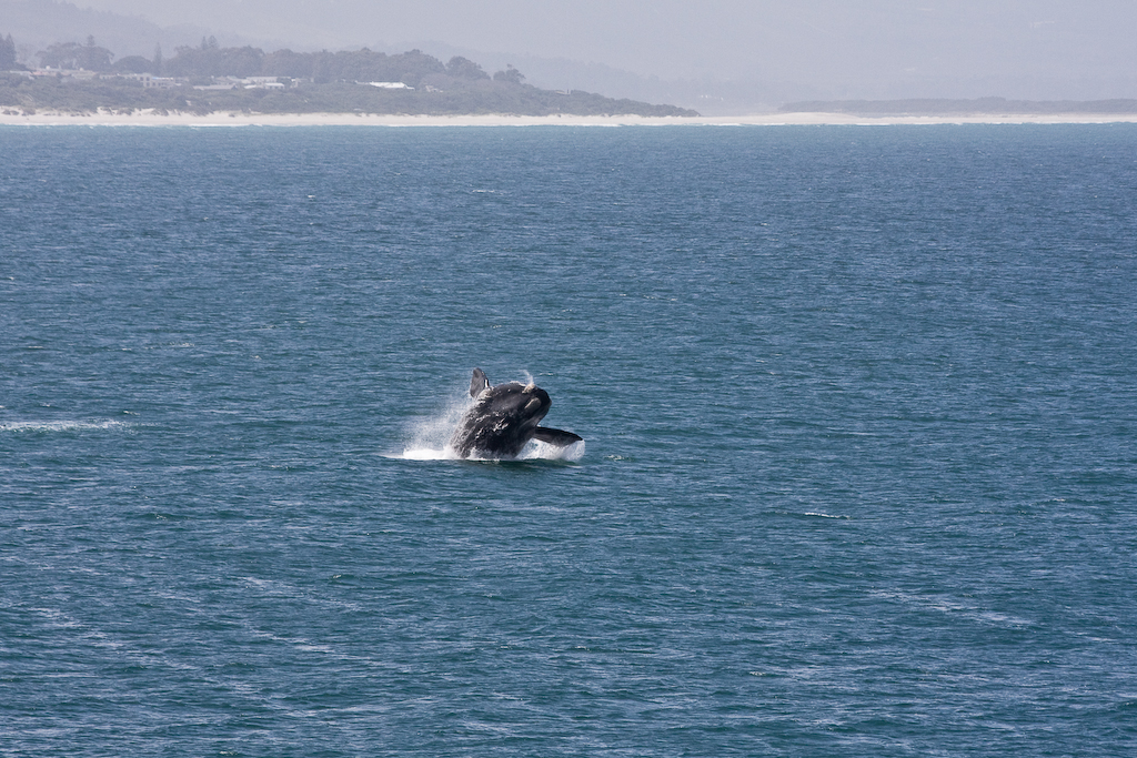 Breaching Whale 2 of 3