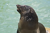 Seal at Kalk's Bay begging for fish