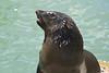 Seal at Kalk's Bay begging for fish