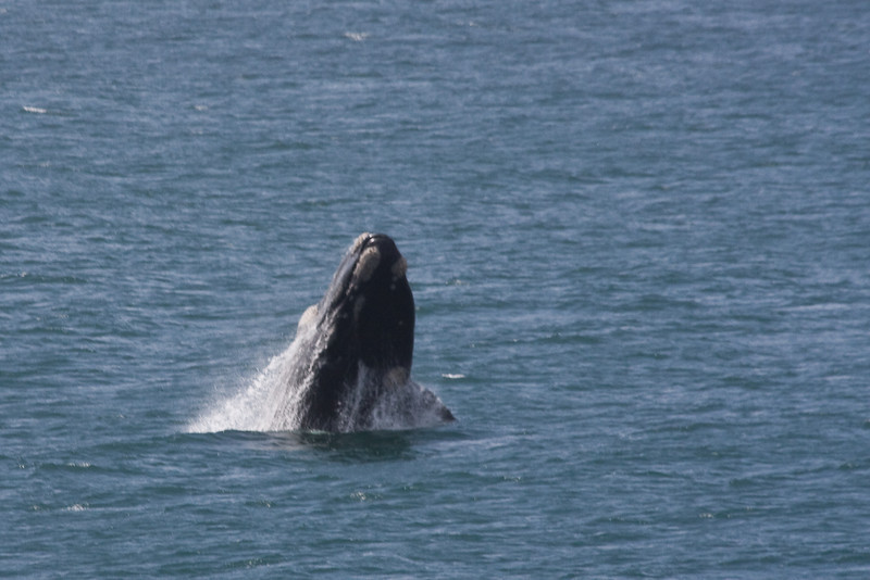 Breaching Whale 1 of 3