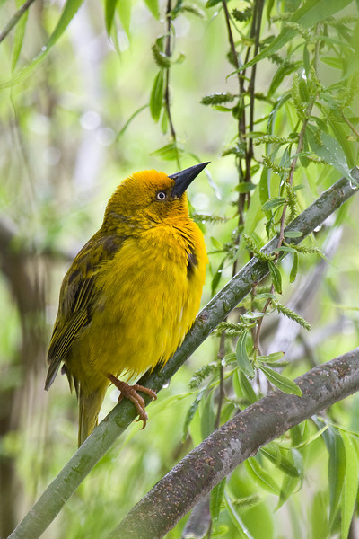 Yellow Weaver at Afrikaans Monument