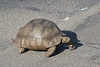 We saved this Tortoise from being run over by cars
