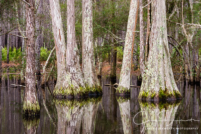 Cypress, Apalachiacola National Forest, Florida