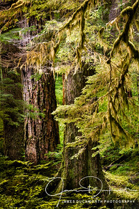 Rain Forest, Olympic National Forest