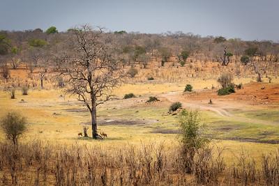 Impala Landscape